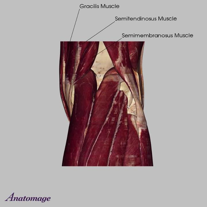 Muscles of the Knee Joint