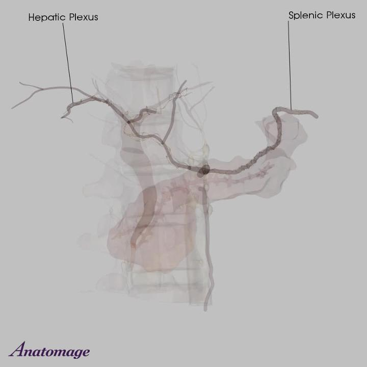 Nerves of the Pancreas