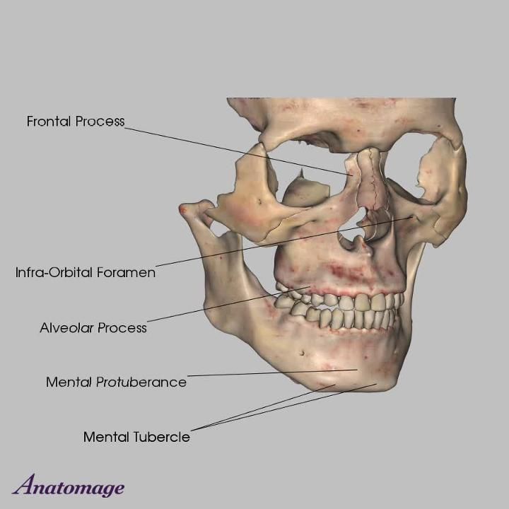 Cranial And Facial Bones Stylohyoid Ligament