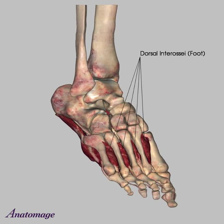 Muscles Of The Foot Lumbrical Foot