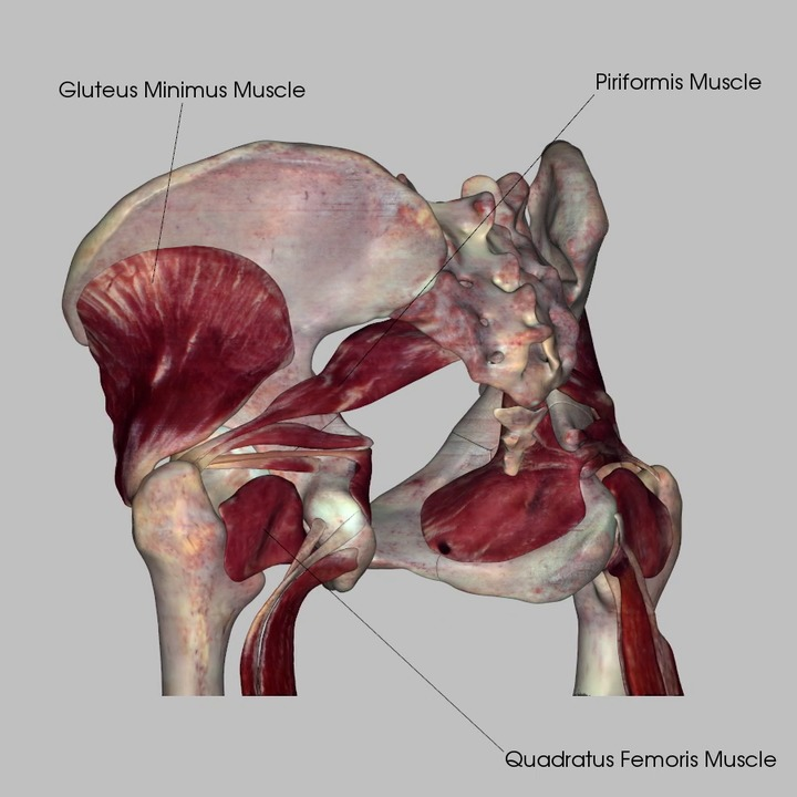 Posterior Pelvic Muscles