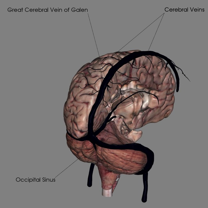 Veins of the Brain