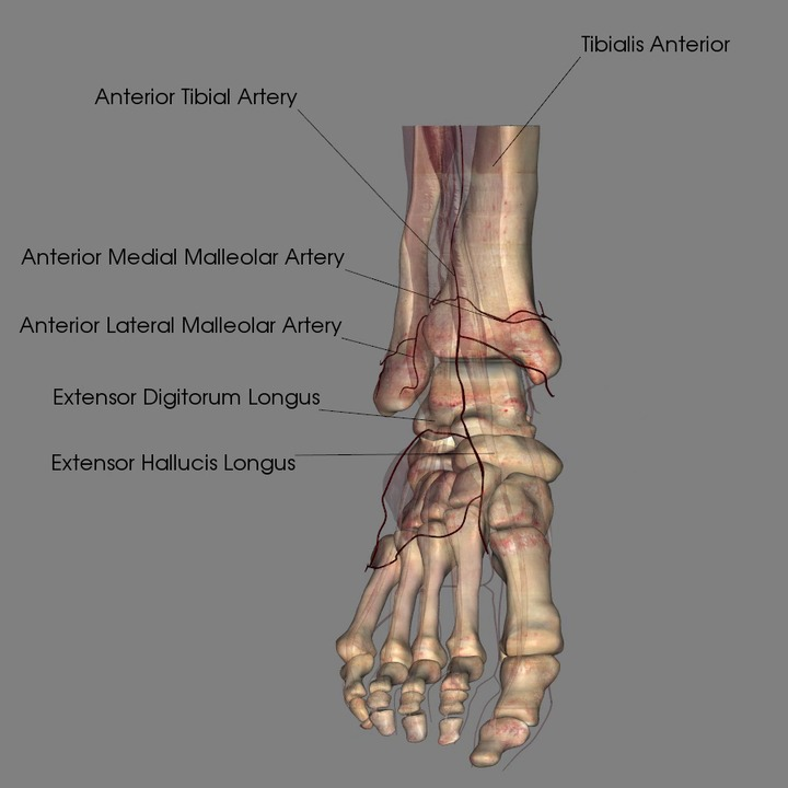 Vasculature of the Foot
