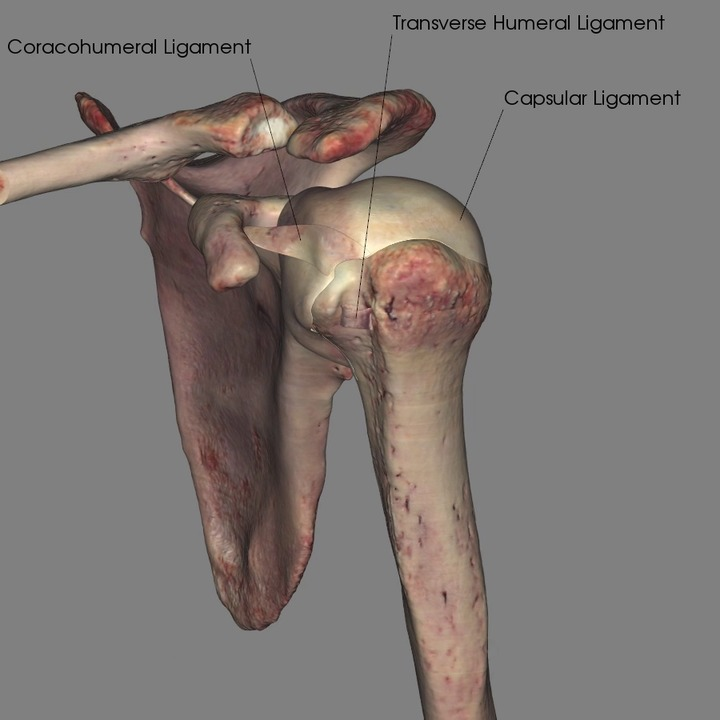 Ligaments of the Shoulder